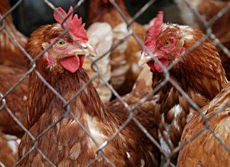 groźny wirus ptasiej grypy