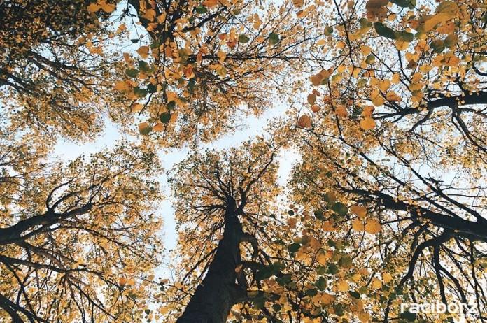 800 lecia praw miejskich raciborz drzewa