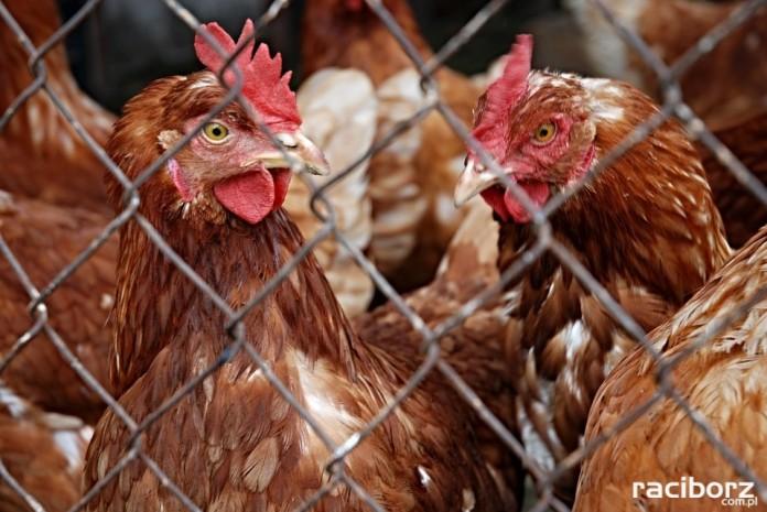 Wirus ptasiej grypy. Apel do hodowców drobiu