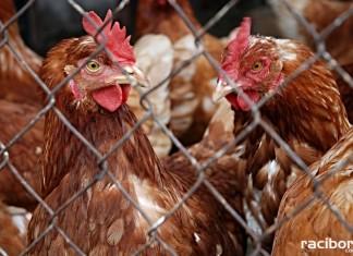 Grypa ptaków. Nowe rozporządzenie Ministerstwa Rolnictwa i Rozwoju Wsi