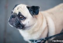 krajowa wystawa psow rasowych raciborz zakrzow 2