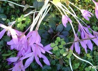 W Raciborzu jesienią zakwitły fiołki