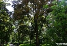 Kolejne nasadzenia drzew na 800-lecie praw miejskich Raciborza