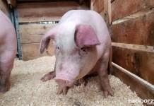 trzoda chlewna swinia rolnictwo