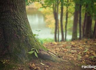 """Posadzono tylko 46 drzew zamiast """"800 drzew na 800 lat Raciborza"""""""