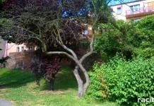 Urząd Miasta Racibórz zleci usunięcie sześciu drzew