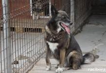 Kierownik schroniska w Raciborzu promuje świadomą adopcję psów
