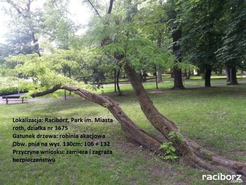 Racibórz: Robinia akacjowa do wycinki