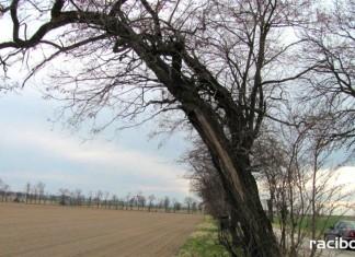 drzewa do wycinki Racibórz
