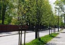 w Racborzu przybędzie 990 drzew