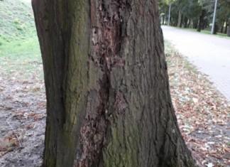 Wycinka drzew Racibórz