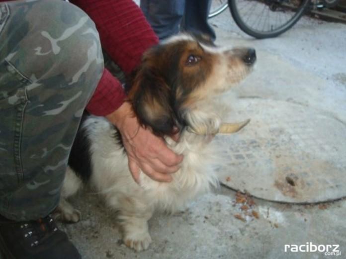 pies znaleziony krzanowice
