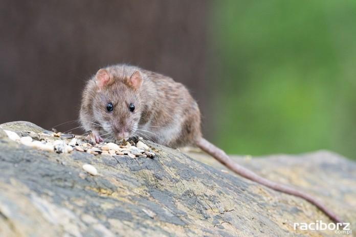 szczur
