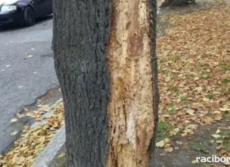 wycinka drzew raciborz