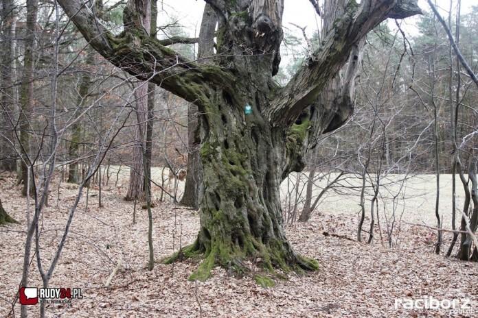 grab jankowice drzewo roku