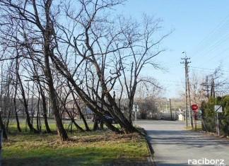 Drzewa zlokalizowane są w Raciborzu w pasie drogowym drogi wewnętrznej ulicy Kobylskiej w Brzeziu