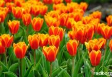 Jak sadzić tulipany