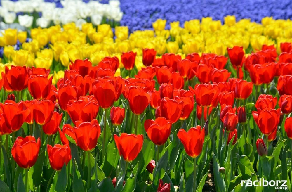 Jak sadzić tulipany?
