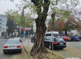Robinia akacjowa na placu Długosza