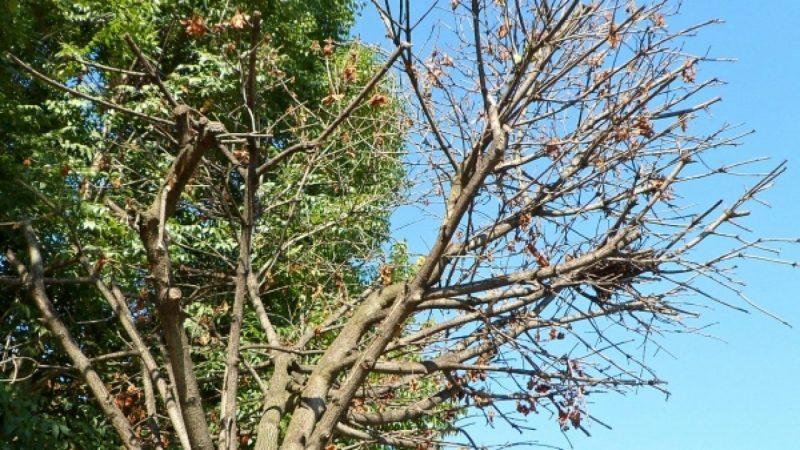 Susza zabija drzewa